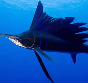 Fishing Zanzibar - Sailfish