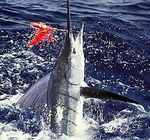 Game Fishing in Zanzibar - A Striped Marlin